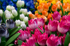 Colored wooden tulip Stock Photos