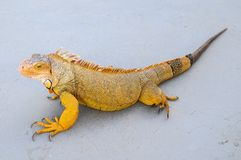 Colored Young Male Iguana Royalty Free Stock Image