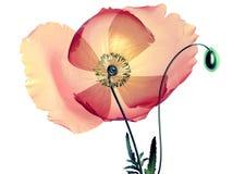 Coloree la flor de cristal aislada en el negro, la amapola stock de ilustración
