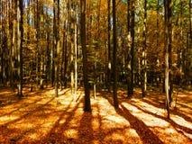 Coloree la fotografía del detalle del bosque otoñal de la haya en puesta del sol Foto de archivo