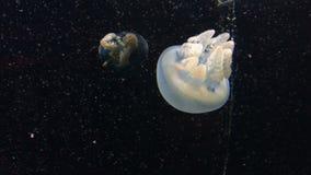 Coloree las medusas cambiantes bajo el agua 4k almacen de metraje de vídeo