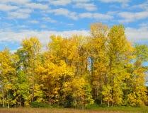 Colores amarillos del árbol de la caída contra el cielo azul brillante Foto de archivo libre de regalías