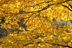 Colores amarillos del otoño en Tokio Fotografía de archivo