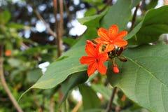 Colores anaranjados de pequeñas flores hermosas en parque natural en la hoja en el fondo verde del jardín Fotos de archivo libres de regalías