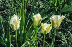 Colores blanco-verdes del tulipán Imágenes de archivo libres de regalías