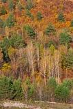 Colores brillantes del bosque del otoño del Amur-abedul y de la picea Fotos de archivo