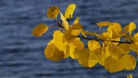 Colores brillantes del otoño en una rama del álamo temblón y el mar Imagen de archivo