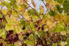 Colores cambiantes en el viñedo de la caída Fotografía de archivo