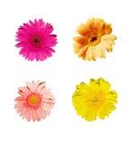 Colores clasificados de la flor (Gerbera) imagen de archivo
