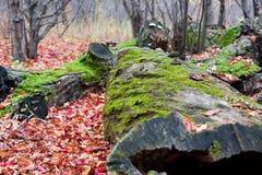 Colores cubiertos de musgo del registro y del otoño Imagen de archivo