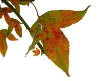 Colores de hojas secas Foto de archivo libre de regalías