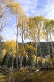 Colores de la caída, árboles de abedul en otoño Fotografía de archivo libre de regalías