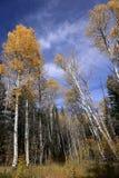 Colores de la caída, árboles de abedul en otoño Fotos de archivo libres de regalías