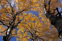 Colores de la caída, árboles de abedul en otoño Fotos de archivo