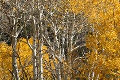 Colores de la caída, árboles de abedul en otoño Imagen de archivo