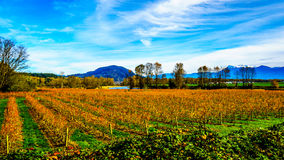 Colores de la caída de filas rectas de las plantas del arándano en el granjero Fields en Fraser Valley Foto de archivo libre de regalías
