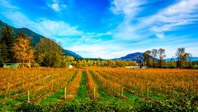 Colores de la caída de filas rectas de las plantas del arándano en el granjero Fields en Fraser Valley Fotos de archivo libres de regalías