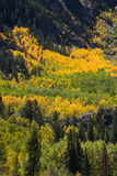 Colores de la caída del otoño del álamo temblón de Colorado Foto de archivo libre de regalías