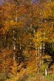 Colores de la caída en el bosque de la montaña Fotos de archivo libres de regalías