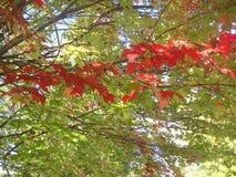 Colores de la hoja de arce en mediados de caída Imagen de archivo