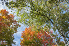 Colores de la hoja del otoño en árbol de abedul de plata Fotografía de archivo libre de regalías