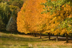 Colores de oro del árbol del otoño Imágenes de archivo libres de regalías