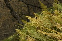 Colores de oro del otoño del abedul y del helecho Imagen de archivo libre de regalías