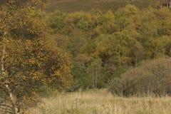 Colores de oro del otoño del abedul y del helecho Fotografía de archivo libre de regalías