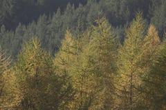 Colores del follaje del otoño en árbol de abedul con el fondo borroso Fotografía de archivo