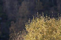 Colores del follaje del otoño en árbol de abedul con el fondo borroso Imagen de archivo