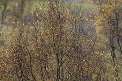 Colores del follaje del otoño en árbol de abedul con el fondo borroso Imagenes de archivo