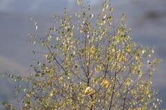 Colores del follaje del otoño en árbol de abedul con el fondo borroso Imagen de archivo libre de regalías