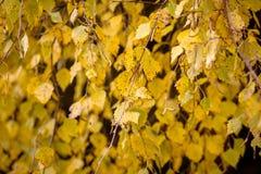 Colores del otoño de las hojas del abedul Fotografía de archivo libre de regalías