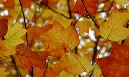 Colores del otoño de un árbol de tulipán fotografía de archivo libre de regalías
