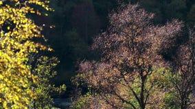 Colores del otoño en árboles de abedul a lo largo de una cañada en Escocia durante otoño almacen de video