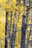 Colores del otoño en las hojas del abedul blanco imágenes de archivo libres de regalías