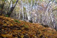 Colores del otoño en los bosques mezclados del parque natural de Posets-Maladeta, español los Pirineos Foto de archivo libre de regalías