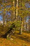 Colores del otoño en un bosque en el día soleado, montaña de Radocelo Fotos de archivo libres de regalías