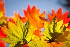 Colores del otoño, hojas de Acer foto de archivo