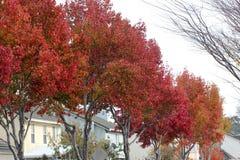 Colores del otoño del sweetgum americano, styraciflua del liquidámbar foto de archivo libre de regalías