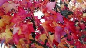 Colores del rojo y del otoño en naturaleza almacen de video