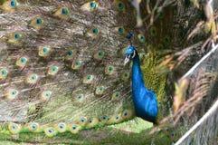 Colores en todos los ojos de un pavo real Fotografía de archivo libre de regalías