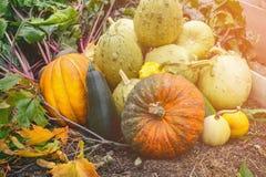 Colores mezclados hermosos de las calabazas maduras que mienten en la hierba en el diagrama agrícola al día de acción de gracias Imagenes de archivo