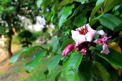 Colores púrpuras de flores hermosas en parque natural en la hoja en el fondo verde del jardín Fotografía de archivo