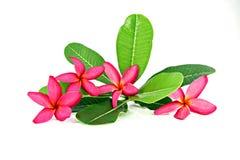 Colores rojos del frangipani. Imagenes de archivo