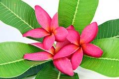 Colores rojos del frangipani. Imagen de archivo