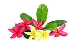 Colores rojos y amarillos del frangipani. Fotos de archivo
