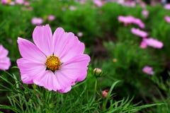 Colores rosados grandes hermosos de las flores del cosmos Foto de archivo