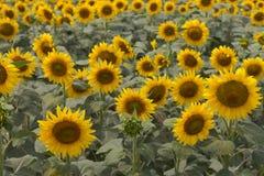 Colores silenciados florecientes del prado de los girasoles Girasoles amarillos con el primer verde de las hojas Campo de Sunflow Fotos de archivo