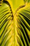 Colores verdes y amarillos vibrantes del pasto de la palma fotos de archivo